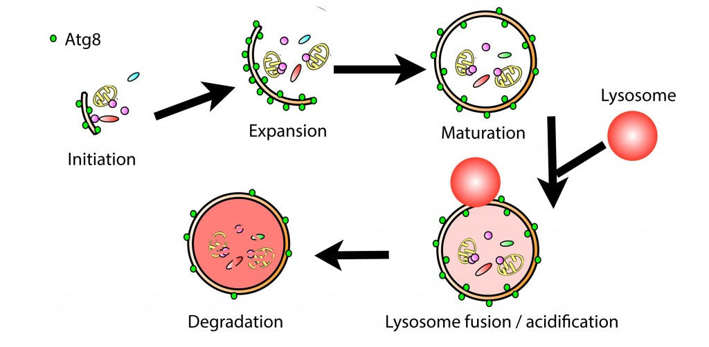 autophagy diagram